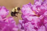 Bee In Flight 20080515