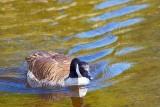 Swimming Canada Goose 89173