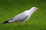 Squawking Gull 13261