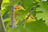 Hiding Yellow Warbler 13311 (crop)