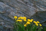 Dandelions Beside Rock 13484