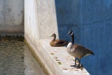 Duck & Goose On A Dam 13474