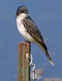 Eastern Kingbird 13496