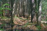 Pinhey Forest 13369