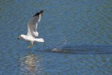 Gull With A Catch 13438