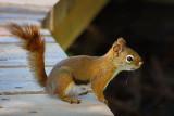 Red Squirrel On A Boardwalk 13619