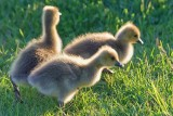 Backlit Goslings 13716