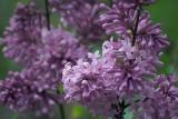 Lilacs 20080601