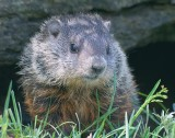 Young Groundhog 13912