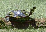 Turtle On A Log 13983