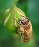 Bee On A Bud 20070603