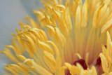 Peony Closeup 14086