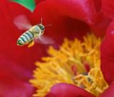 Bee In Flight 14139