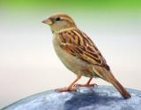 Little Brown Bird 14130