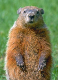 Upright Groundhog 14250