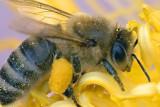 Bee On A Peony 14111 (crop)