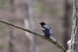 Red-winged Blackbird 14502