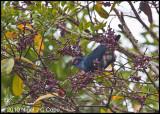 Madgascar blue pigeon_0129
