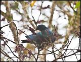 Madagascar blue pigeon_0135