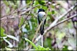 Madagascar Paradise flycatcher_0201