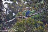 Madagascar cuckoo-roller_0203