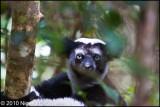 Indri_0333