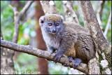 Grey bamboo lemur_0390