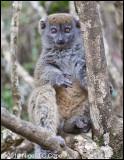 Grey bamboo lemur_0397