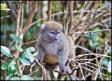 Grey bamboo lemur_0404
