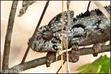 Oustalets chameleon_9737