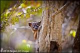 Hubbards sportive lemur_9864