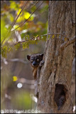 Hubbards sportive lemur_9867