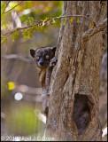 Hubbards sportive lemur_9868