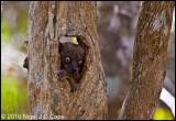 Hubbards sportive lemur_9871