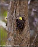 Hubbards sportive lemur_9875