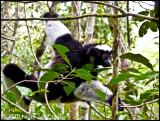 Indri P1020359