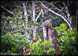 Brown lemur_0139