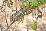 Oustalets chameleon_9730