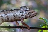 Oustalets chameleon_9758
