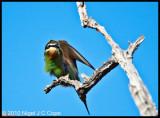 Madagascar bee-eater_9778