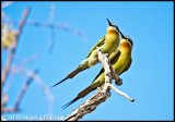 Madagascar bee-eater_9790