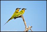 Madagascar bee-eater_9797