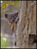 Hubbards sporting lemur_9863