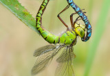 Damsel- and Dragonflies 2010