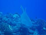 Lemon Shark1