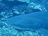 Lemon Shark2