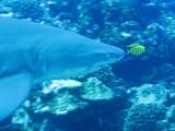 Grey reef shark1