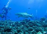 Grey reef shark2
