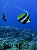 Bannerfish1