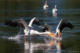Fishing Pelicans